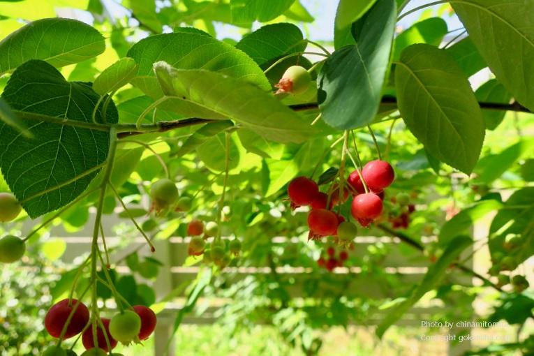 収穫を楽しめる庭「エディブルガーデン」にオススメの樹木