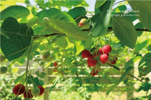 お庭のシンボルツリー、ジューンベリーを楽しもう!